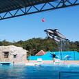 下田海中水族館イルカのショー
