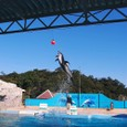 下田海中水族館 イルカのショー