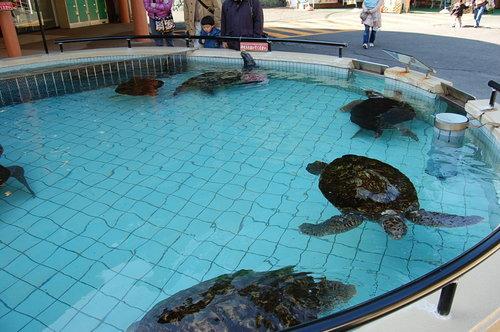 アオウミガメとアカウミガメ